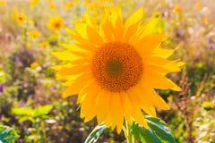 Όμορφος κίτρινος ήλιος λουλουδιών θερινών κινηματογραφήσεων σε πρώτο πλάνο ηλίανθων τομέων Στοκ φωτογραφίες με δικαίωμα ελεύθερης χρήσης