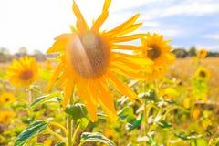 Όμορφος κίτρινος ήλιος λουλουδιών θερινών κινηματογραφήσεων σε πρώτο πλάνο ηλίανθων τομέων Στοκ εικόνα με δικαίωμα ελεύθερης χρήσης