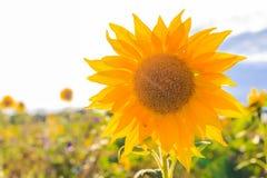 Όμορφος κίτρινος ήλιος λουλουδιών θερινών κινηματογραφήσεων σε πρώτο πλάνο ηλίανθων τομέων Στοκ Εικόνες