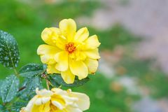 Όμορφος κίτρινος αυξήθηκε λουλούδι σε έναν κήπο Στοκ Εικόνες