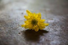 Όμορφος κίτρινος εκλεκτής ποιότητας τόνος λουλουδιών mum στο τσιμεντένιο πάτωμα Στοκ Φωτογραφία