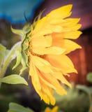 Όμορφος κίτρινος ηλίανθος μια φωτεινή θερινή ημέρα στοκ εικόνα