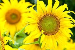Όμορφος κίτρινος ηλίανθος Στοκ εικόνα με δικαίωμα ελεύθερης χρήσης