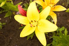 Όμορφος κίτρινος κρίνος μετά από τη βροχή κλείστε επάνω Εννοιολογικό desig Στοκ εικόνες με δικαίωμα ελεύθερης χρήσης