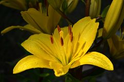 Όμορφος κίτρινος κρίνος σε έναν σκούρο πράσινο κήπο Στοκ Φωτογραφίες