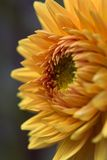 όμορφος κίτρινος Στοκ εικόνα με δικαίωμα ελεύθερης χρήσης
