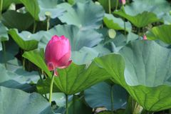 Όμορφος και λεπτός λωτός στον κινεζικό κήπο στοκ φωτογραφία