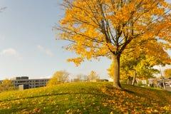 Όμορφος και φωτεινός, δέντρο σφενδάμνου με τα πορτοκαλιά φύλλα το φθινόπωρο Στοκ εικόνες με δικαίωμα ελεύθερης χρήσης