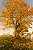 Όμορφος και φωτεινός, δέντρο σφενδάμνου με τα πορτοκαλιά φύλλα το φθινόπωρο Στοκ Φωτογραφίες