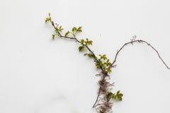 Όμορφος κισσός Στοκ εικόνα με δικαίωμα ελεύθερης χρήσης