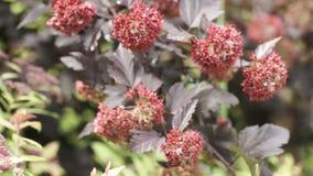 Όμορφος κλάδος με τα κόκκινα λουλούδια Δέντρο με τα κόκκινα λουλούδια που κυματίζουν ήπια στο αεράκι απόθεμα βίντεο