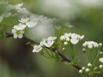 Όμορφος κλάδος με την άσπρη κινηματογράφηση σε πρώτο πλάνο λουλουδιών στοκ φωτογραφίες με δικαίωμα ελεύθερης χρήσης