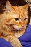 Όμορφος κοκκινομάλλης μεγάλος στενός επάνω γατών Στοκ Φωτογραφίες