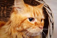 Όμορφος κοκκινομάλλης μεγάλος στενός επάνω γατών Στοκ Εικόνες