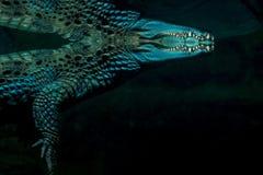 Όμορφος κροκόδειλος κάτω από το νερό Στοκ εικόνα με δικαίωμα ελεύθερης χρήσης