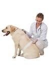 Όμορφος κτηνίατρος που επιδένει το κίτρινο σκυλί του Λαμπραντόρ Στοκ Εικόνα