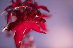 Όμορφος κόκκινος αειθαλής κλάδος το φθινόπωρο στοκ εικόνες με δικαίωμα ελεύθερης χρήσης