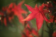 Όμορφος κόκκινος αειθαλής κλάδος το φθινόπωρο στοκ φωτογραφία με δικαίωμα ελεύθερης χρήσης
