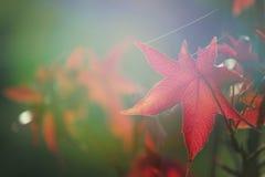 Όμορφος κόκκινος αειθαλής κλάδος στοκ φωτογραφία με δικαίωμα ελεύθερης χρήσης