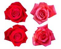 Όμορφος κόκκινος αυξήθηκε λουλούδι που απομονώθηκε στο άσπρο υπόβαθρο Στοκ Εικόνες