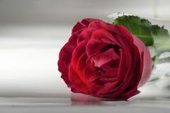 Όμορφος κόκκινος αυξήθηκε λουλούδι που απομονώθηκε Στοκ Φωτογραφία