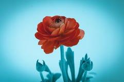 Όμορφος κόκκινος αυξήθηκε μακρο λουλούδι που απομονώθηκε στο μπλε υπόβαθρο στοκ φωτογραφίες με δικαίωμα ελεύθερης χρήσης