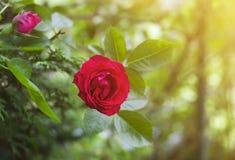 Όμορφος κόκκινος αυξήθηκε στον κήπο στο δονούμενο πράσινο θολωμένο κλίμα στοκ εικόνα