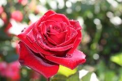 όμορφος κόκκινος αυξήθηκε Στοκ εικόνα με δικαίωμα ελεύθερης χρήσης