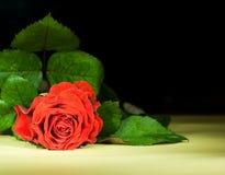 όμορφος κόκκινος αυξήθη&kapp Στοκ Εικόνες
