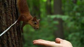 Όμορφος κόκκινος σκίουρος στα καρύδια ρουθουνίσματος δέντρων από το χέρι του κοριτσιού στο δάσος απόθεμα βίντεο