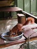 Όμορφος κόκκινος σκίουρος Στοκ Εικόνες
