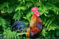 Όμορφος κόκκορας στο υπόβαθρο φύσης Στοκ Φωτογραφία