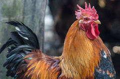Όμορφος κόκκορας στοκ φωτογραφίες