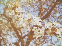 Όμορφος κλάδος δέντρων μηλιάς Στοκ Εικόνα