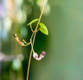 Όμορφος κλαδίσκος Ceropegia Woodii με το λουλούδι στο φυσικό πράσινο blu στοκ φωτογραφία με δικαίωμα ελεύθερης χρήσης