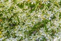 Όμορφος λίγο λουλούδι Χριστουγέννων (leucocephala Lotsy ευφορβίας), γνωστό επίσης τόσο λίγο λουλούδι Χριστουγέννων, άσπρη ευφορβί Στοκ εικόνα με δικαίωμα ελεύθερης χρήσης