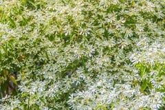 Όμορφος λίγο λουλούδι Χριστουγέννων (leucocephala Lotsy ευφορβίας), γνωστό επίσης τόσο λίγο λουλούδι Χριστουγέννων, άσπρη ευφορβί Στοκ Εικόνες