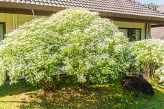 Όμορφος λίγο λουλούδι Χριστουγέννων (leucocephala Lotsy ευφορβίας), γνωστό επίσης τόσο λίγο λουλούδι Χριστουγέννων, άσπρη ευφορβί Στοκ φωτογραφίες με δικαίωμα ελεύθερης χρήσης