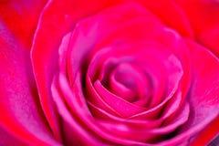 Όμορφος λεπτός κόκκινος αυξήθηκε μακρο άποψη πετάλων λουλουδιών που θολώθηκε πίσω Στοκ Εικόνες