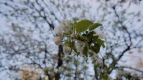 Όμορφος λευκός σαν το χιόνι κλάδος ενός ανθίζοντας δέντρου της Apple στο πάρκο πόλεων Κινηματογράφηση σε πρώτο πλάνο των λουλουδι απόθεμα βίντεο