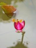 όμορφος λωτός λιβελλουλών Στοκ φωτογραφία με δικαίωμα ελεύθερης χρήσης