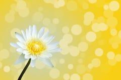 όμορφος λωτός Στοκ εικόνα με δικαίωμα ελεύθερης χρήσης