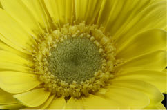 Όμορφος μακρο πυροβολισμός ενός κίτρινου κρίνου Στοκ φωτογραφία με δικαίωμα ελεύθερης χρήσης