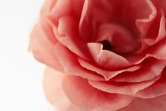 Όμορφος μαλακός ρόδινος αυξήθηκε στο λευκό, διάστημα αντιγράφων στοκ εικόνα με δικαίωμα ελεύθερης χρήσης