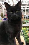 Όμορφος μαύρος στενός επάνω γατών Στοκ Εικόνες