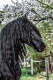 Όμορφος μαύρος φρισλανδικός επιβήτορας στηριγμάτων στοκ φωτογραφία