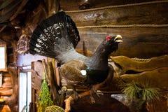 Όμορφος μεγάλος αγριόκουρκος στοκ φωτογραφία με δικαίωμα ελεύθερης χρήσης