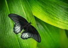 Όμορφος μεγάλος Μορμόνος πεταλούδων, Papilio memnon σε τροπικό για Στοκ Φωτογραφία