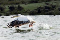 Όμορφος μεγάλος άσπρος πελεκάνος με τα φτερά που διαδίδονται κάτω από να κινηθεί ανωτέρω - νερό Στοκ φωτογραφία με δικαίωμα ελεύθερης χρήσης