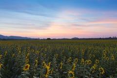 Όμορφος μετά από τον ουρανό ηλιοβασιλέματος πέρα από την πλήρη άνθιση ηλίανθων Στοκ φωτογραφία με δικαίωμα ελεύθερης χρήσης